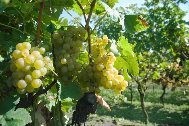 wijngaard de linie Brabant wijn